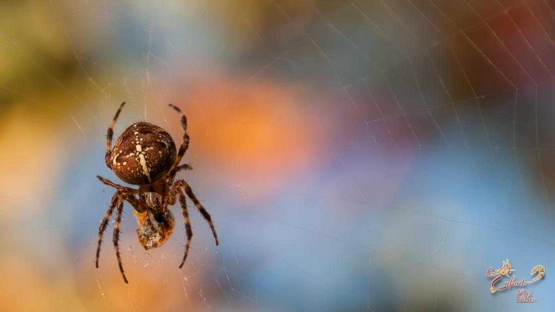 -épeire diadème-  Je ne tolère pas les araignées dans la maison,  mais à l'extérieur c'est différent. Surtout si elles  remplissent bien leur travaille comme celle-ci qui est bien dodue!