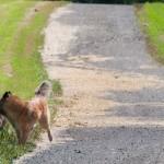 _LEP5698 - C'est le départ pour un grande marche avec Michèle Gauvin, dans les champs d'une amie!