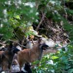 _LEP5731 - C'est le temps d'une petite trempette pour les chiens, après avoir courus comme des MALADES!