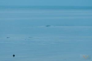 _LEP5839 - C'etait loins, mais on pas mal certains que les taches au loins étaient des phoques qui jouaient!