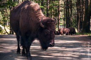 Le bison. Quelle bête majestueuse!