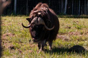 Bœuf musqué.  Les Inuits l'appellent omingmark ce qui signifie « l'animal à la fourrure comme une barbe».