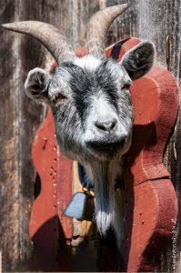 Non, non. Ce n'est pas un trophée, mais bien le poste d'observation de cette petite chèvre!