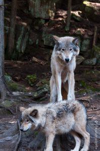 Les loups....