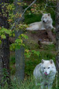 Des loups arctiques
