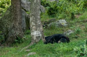 L'heure de la sieste pour les ours noirs