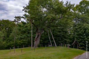 Chêne, plusieurs fois centenaire, devant le Manoir-Papineau à Montebello.